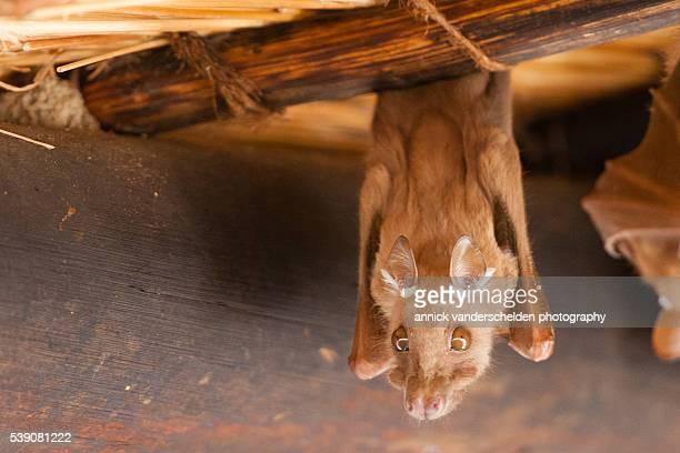Fruit bat.