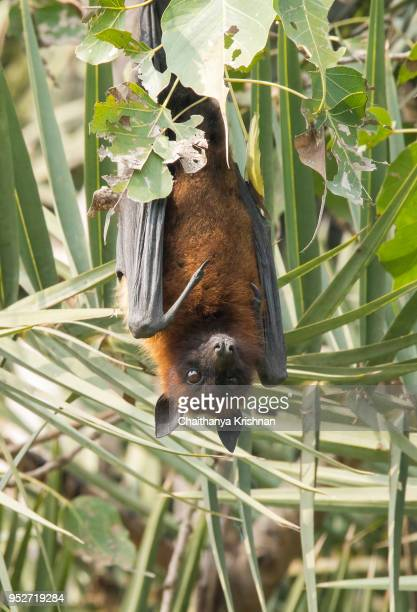 a fruit bat taking rest during a cold winter morning - bat animal stock photos and pictures