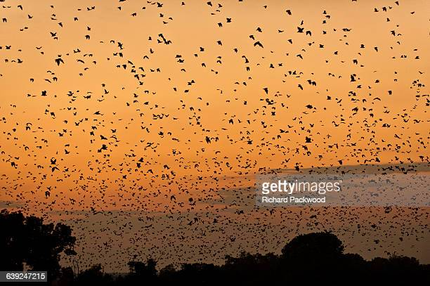 Fruit bats at dawn