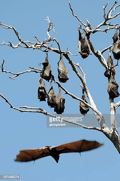 fruit bats hanging from tree - flying fox stock pictures, royalty-free photos & images