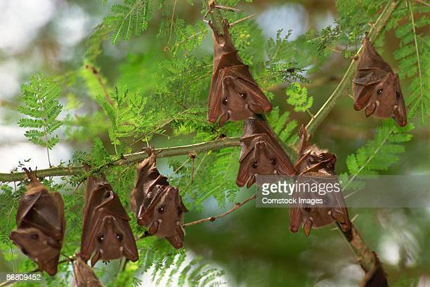 fruit bats - bat animal stock pictures, royalty-free photos & images