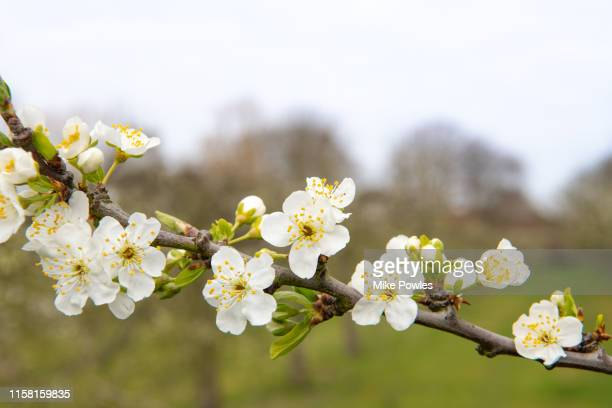 fruit blossom close up - springtime stock pictures, royalty-free photos & images