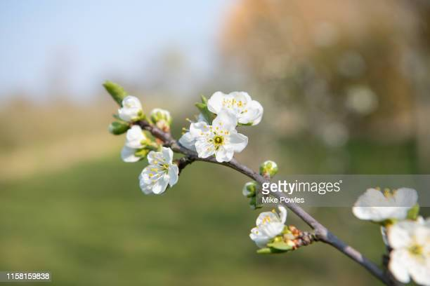 fruit blossom close up - blossom stock pictures, royalty-free photos & images