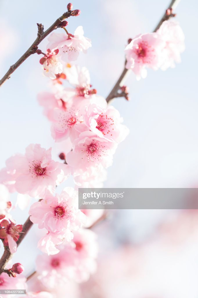 Fruit Blossom : Stock Photo