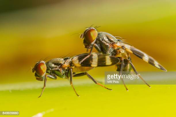 Fruit flies undergo a prelude of dances prior to mating The dance begins when the male approaches the female slowly and vibrates his legs on her head...