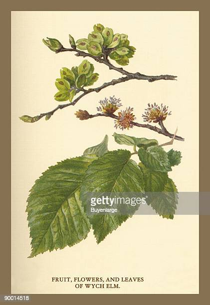Fruit Flower and Leaves from Wych Elm