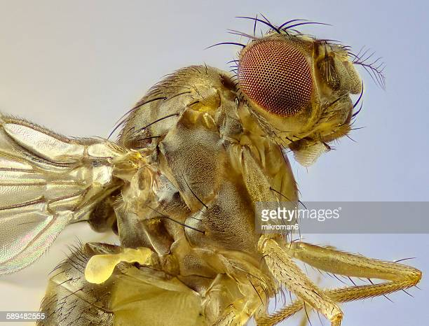 Fruit fly close up