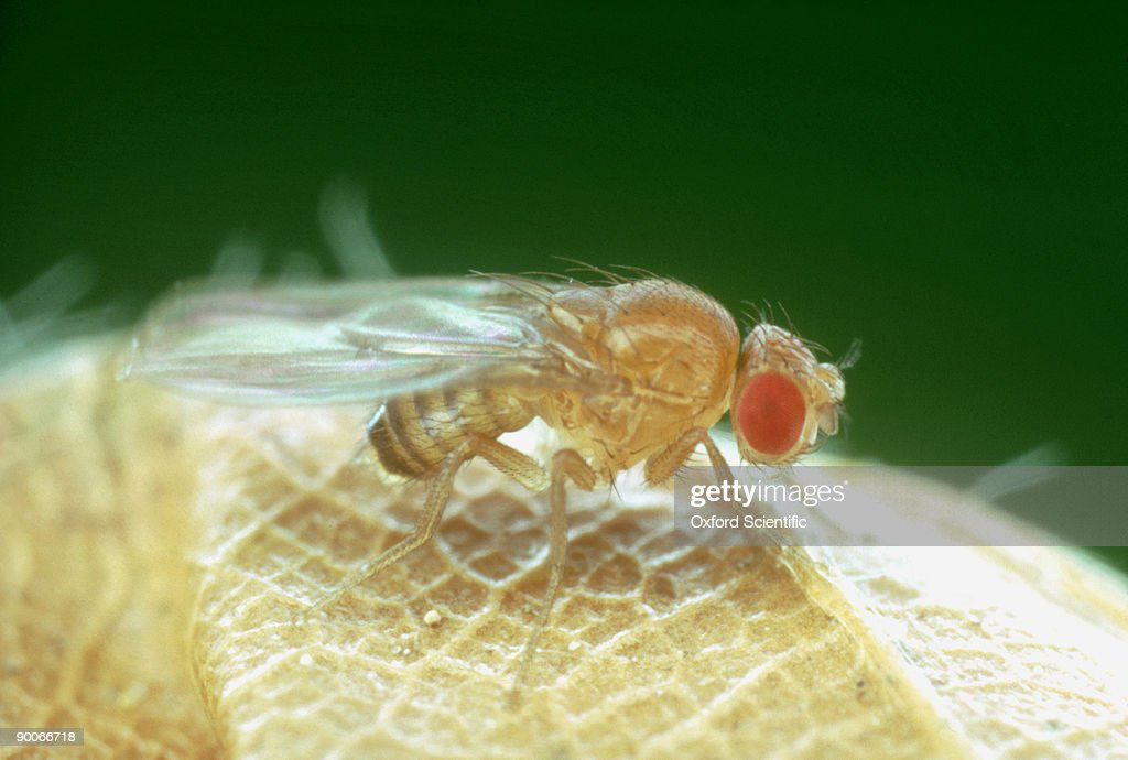 fruit flies research paper The uci lab had been breeding fruit flies since 1991, separating fast growers with short life spans from slow growers with longer life spans 5 the uci scientists compared the dna sequences affecting fruit fly growth and longevity between the two groups.