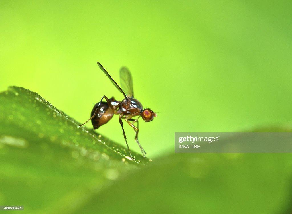 Fruit fly on leaf : Stock Photo
