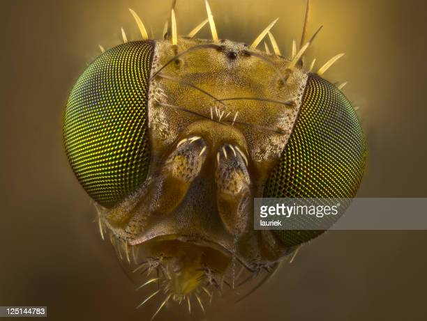 Fruit Fly portrait