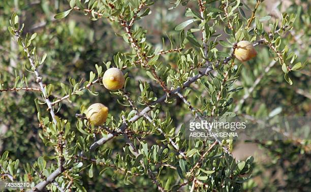 Fruit from an Argan tree are pictured 25 May 2006 near Taroudant The Argan is endemic to the semidesert region of southwestern Morocco The species...