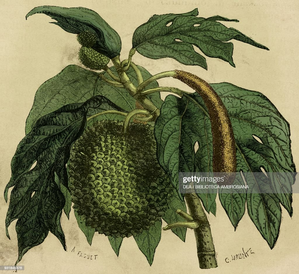 Fruit from the breadfruit tree, drawing : News Photo