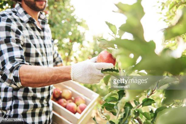 fruit grower harvesting apples in orchard - apple fruit stock pictures, royalty-free photos & images