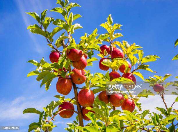fruit ladden apple trees at thornbrooks orchards, central west new south wales - fruit laden trees stock pictures, royalty-free photos & images