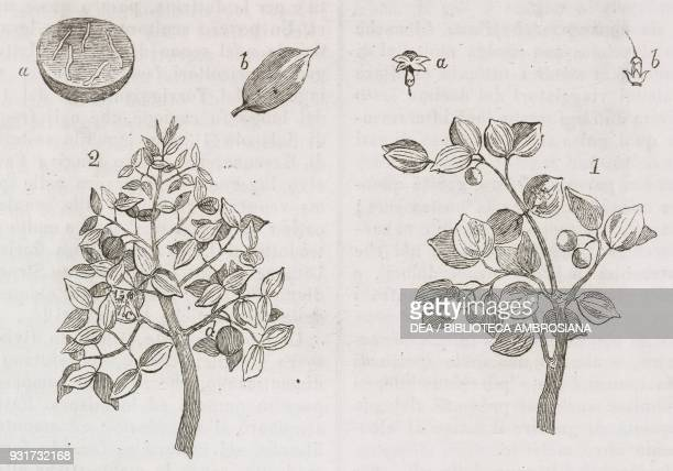Fruit laden strychnine tree , 2 Strychnine tree in bloom, a) Strychnos nux-vomica cut to reveal the internal texture, a, b) flower, engraving from...