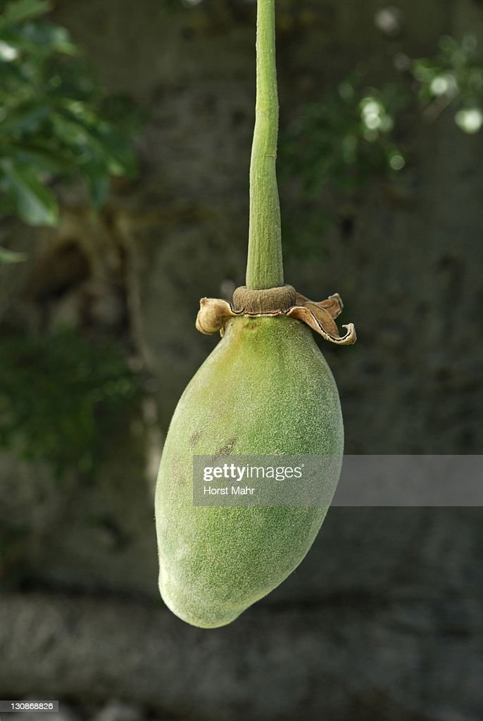 Fruit of a Baobab tree (Adansonia digitata) : Stock Photo