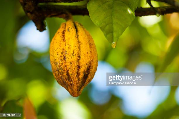 fruit of cocoa - plant pod stock pictures, royalty-free photos & images
