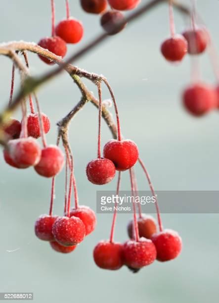 Fruit of malus hupehensis