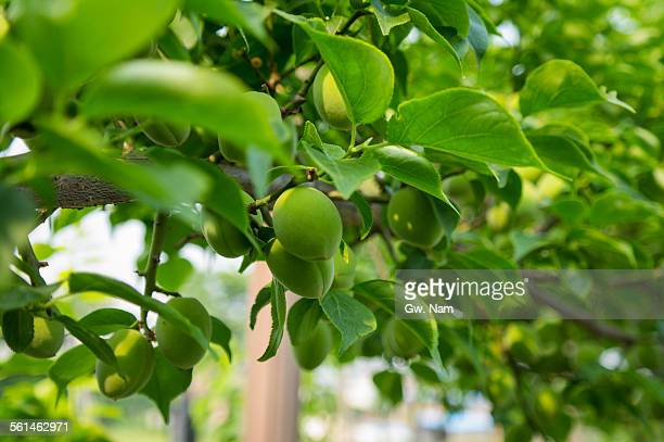 Fruit of Prunus mume