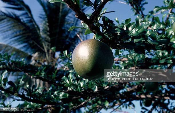 Fruit of the grapefruit , Rutaceae.