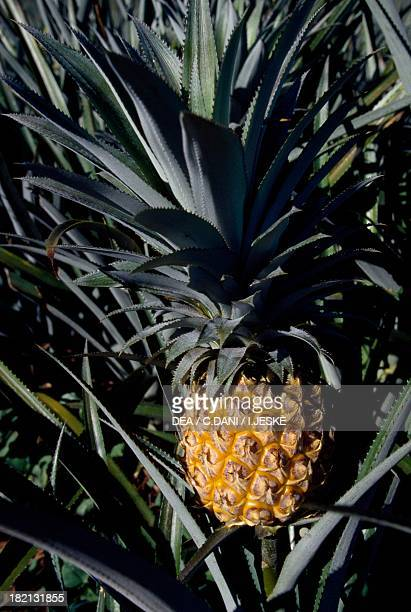 Fruit of the Pineapple Bromeliaceae French Polynesia