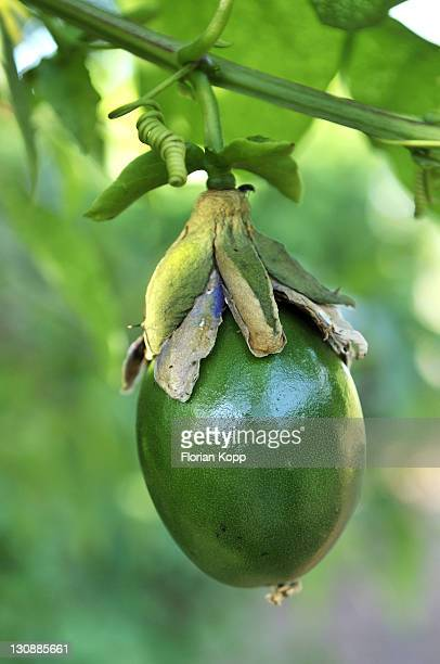 Fruit of the Winged-stem Passion Flower (Passiflora alata), Maracuja