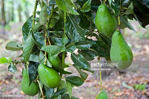 Fruit on an Avocado tree growing at the Grail centre in Uganda   Location Muko Kabale Uganda