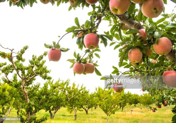 fruit orchard, growing apples, grand valley, western colorado - appelboom stockfoto's en -beelden