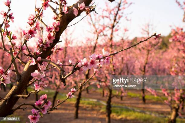 fruit orchard - peach flower stockfoto's en -beelden