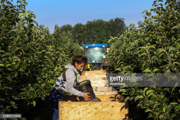 Fruit picker empties Bramley apples into a crate during a harvest at a farm in Coxheath, U.K., on Thursday, Sept. 16, 2021. The head of the U.K.'s...