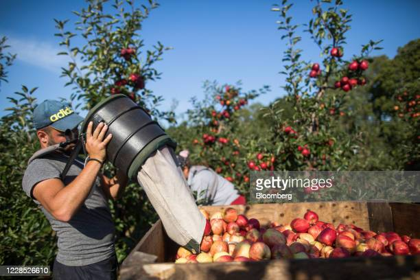 Fruit picker empties royal gala apples into a crate during a harvest at a farm in Egerton, U.K., on Tuesday, Sept. 15, 2020. A disorderly break with...