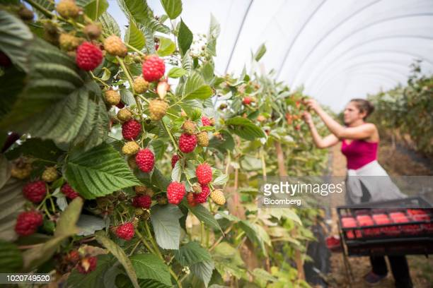 A fruit picker picks raspberries at a fruit farm in Hereford UK on Tuesday Aug 21 2018 Restrictions on free movement of labor could have an impact on...