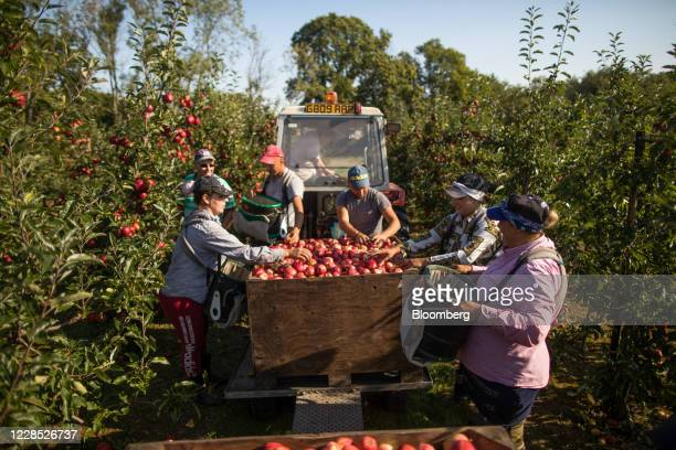 Fruit pickers empty royal gala apples into a crate during a harvest at a farm in Egerton, U.K., on Tuesday, Sept. 15, 2020. A disorderly break with...