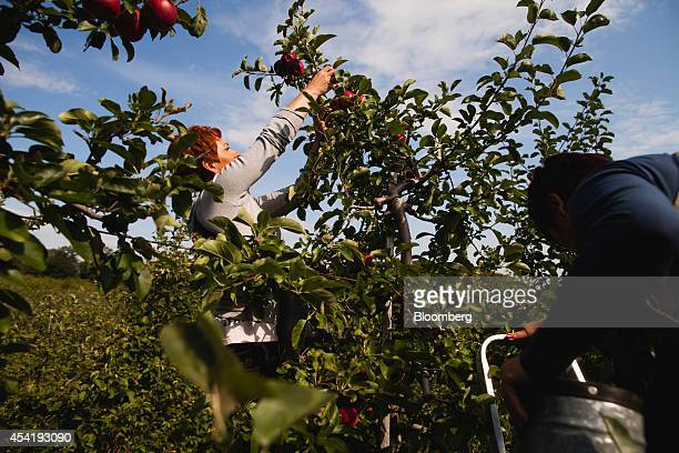 Fruit pickers hand pick apples from the orchard at the Sady Trzebnica z oo apple farm in Trzebnica Poland on Monday Aug 25 2014 Polish corporate...