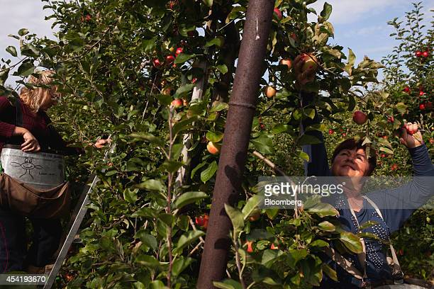 Fruit pickers hand pick apples from trees during the summer harvest at the Sady Trzebnica z oo apple farm in Trzebnica Poland on Monday Aug 25 2014...