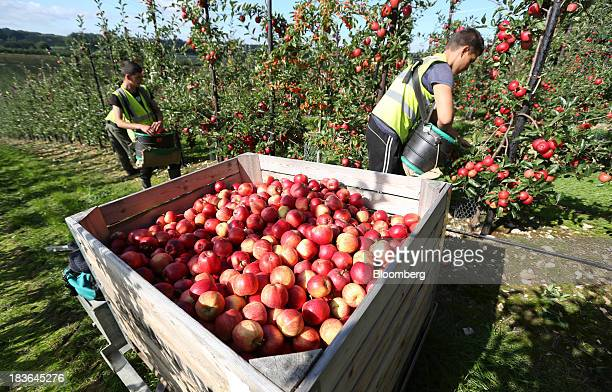Fruit pickers harvest royal gala apples at AC Goatham Sons' orchard in Upchurch UK on Tuesday Oct 8 2013 UK retail sales grew 07 percent in September...