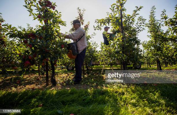 Fruit pickers harvest royal gala apples from trees in an orchard on a farm in Egerton, U.K., on Tuesday, Sept. 15, 2020. A disorderly break with the...