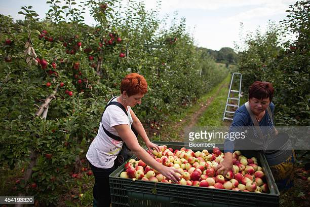 Fruit pickers unload their apples into a collection crate during the summer harvest at the Sady Trzebnica z oo apple farm in Trzebnica Poland on...