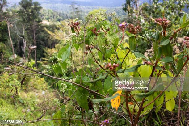 fruit plants, borneo, malaysia - argenberg stock pictures, royalty-free photos & images