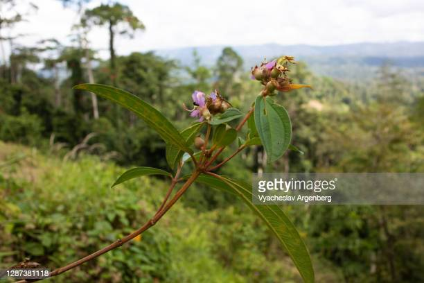 fruit plants on the hill, borneo, malaysia - argenberg stock pictures, royalty-free photos & images