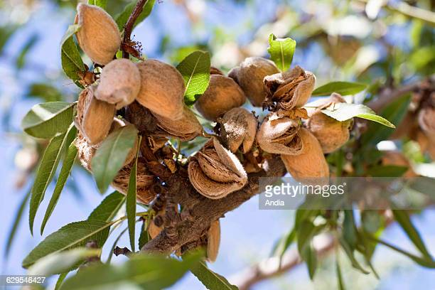 Fruit tree cultivation San Joachin Valley California United States Branch of an almond tree with ripe almonds on it