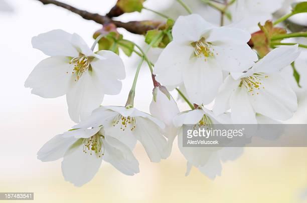 Fruit Tree Flower