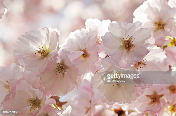 fruit tree flower - peach blossom stock pictures, royalty-free photos & images