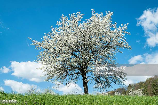 Fruit tree in blossom on a meadow, orchard, Bodenseekreis district, Baden-Wurttemberg, Germany