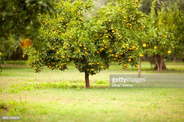 fruit tree in rural field - orchard stockfoto's en -beelden