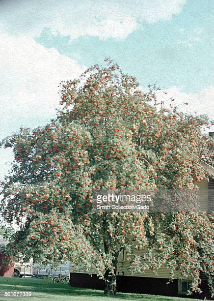 Fruit tree laden with red fruit, planted beside a house, near Mount Ashland, Oregon, 1967.