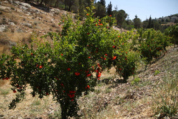 fruit tree - pomegranate tree stock photos and pictures
