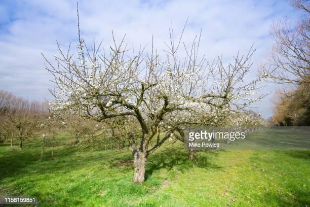 fruit trees in orchard norfolk - árbol de hoja caduca fotografías e imágenes de stock