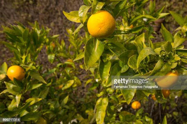 fruit trees - orange orchard stock photos and pictures