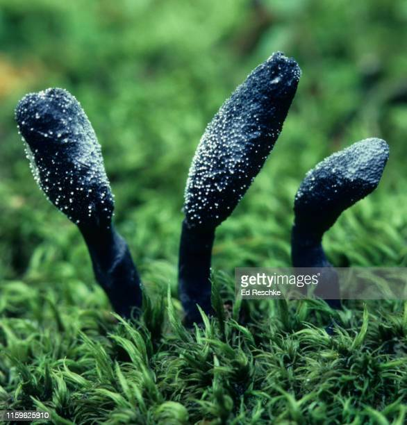 common earth tongue (geoglossum difforme) fruiting bodies of a sac fungus - ascospore stock photos and pictures
